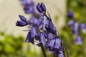 Hybrid Bluebell, Hyacinthoides X Massartiana, Macro