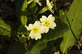 Primula Vulgaris, Common Or English Primrose, Macro