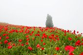 Field With A Beautiful Red Poppies On The Hill