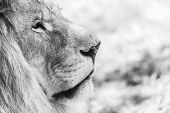 stock photo of african lion  - Black And White Lion Portrait Close Up - JPG