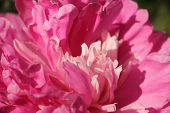 Fragment Of Pink Peony