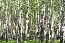 stock photo of birchwood  - Birchwood in a summer sunny day - JPG