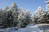 Dashing Winter Pine Forest Trail