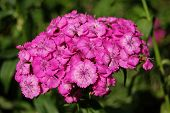 Raceme of the carnation turkish