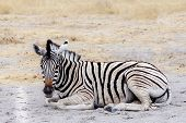 Young Zebra In African Bush