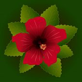 red flower of hibiscus and green leave background