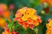 image of lantana  - Yellow lantana camara flowers blooming in garden - JPG