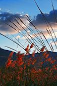 stock photo of pampa  - Sunset lights up the colors on pampas grass - JPG