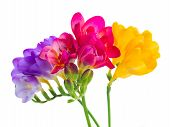 blue, pink and yellow freesia  flowers