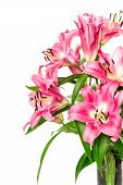 Pink Lily Flower Blossoms Isolated On White. Fresh Bouquet
