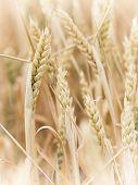 beautiful field with ripe wheat