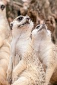 Meerkat Looking Upward