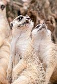Meerkat Looking Upward
