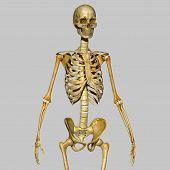 image of skeleton  - The human skeleton is the internal framework of the body - JPG