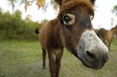 stock photo of burro  - A Baby donkey is looking funny cute curious in a closeup of his head - JPG
