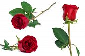 pic of bittersweet  - red rose set flower close - JPG