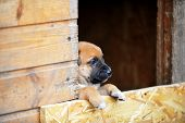 picture of belgian shepherd  - Funny young puppy belgian shepherd malinois in dog house - JPG