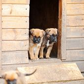 stock photo of belgian shepherd  - Funny young puppies belgian shepherd malinois near dog house - JPG