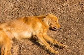 stock photo of mongrel dog  - mongrel brown dog is sleeping on the ground - JPG
