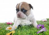 image of french bulldog puppy  - puppy french bulldog in front of white background - JPG
