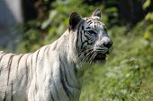 picture of dread head  - White bengal tiger - JPG