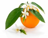 picture of orange blossom  - Orange fruit with leaves and blossom isolated on a white background - JPG