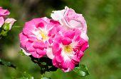 pic of rosary  - Roses - JPG