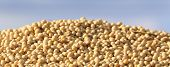 picture of soybean milk  - Close up of ripe soybean on heap after harvest - JPG