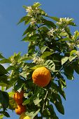 foto of white flower  - orange tree with fruits and white flowers - JPG