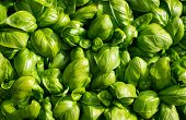 picture of basil leaves  - large green aromatic Mediterranean basil leaves all close together - JPG