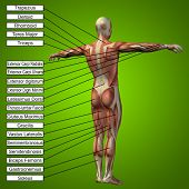 picture of triceps brachii  - Concept or conceptual 3D male or human anatomy - JPG