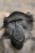 Chacma Baboon Portrait