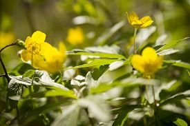 foto of windflowers  - wallpaper of close up of yellow windflower with selective focus and shallow DOF - JPG