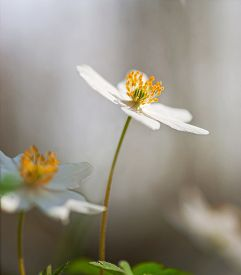 image of windflowers  - Close up of anemone nemorosa or windflower in scandinavian forest in spring on smooth background - JPG