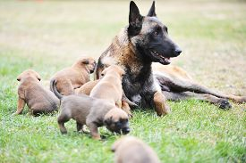 image of lactating  - female dog of belgian shepherds malinois with puppies - JPG