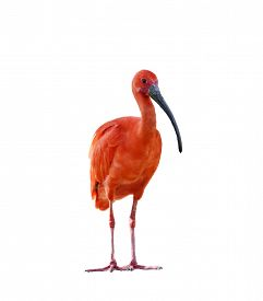 picture of scarlet ibis  - Scarlet Ibis Isolated On White Background - JPG