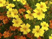 Orange And Yellow Blossoms Of Tagetes Signata With Insect