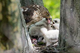 picture of hawk  - Adult cooper - JPG
