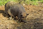 stock photo of pot bellied pig  - pot - JPG