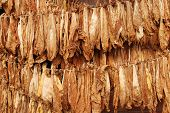 picture of tobacco barn  - Classical way of drying tobacco in barn - JPG