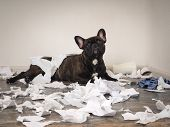 Funny Dog Made A Mess In The Room. Playful Puppy French Bulldog poster