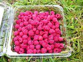 foto of picking tray  - fresh picked raspberries in tray - JPG