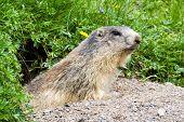 marmot in the alps