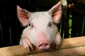 stock photo of funny animals  - little pig - JPG