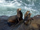 image of sea lion  - mother seal and pups on the cliffs of la jolla - JPG