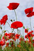 red poppy flowers - Papaveraceae Papaver rhoeas