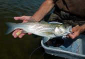 stock photo of bass fish  - Striped Bass Striper close - JPG