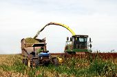 stock photo of sorghum  - Sorghum harvesting in Brazil - JPG