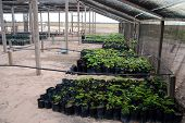 Reforestation in the Amazon: palm tree seedlings in a greenhouse ready to be planted to regrow destroyed rainforest