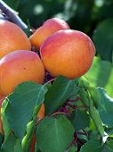 Apricots And Leaves